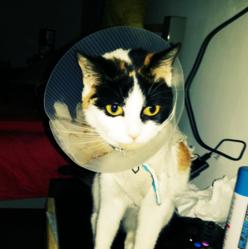 Bonnie, chat Européen