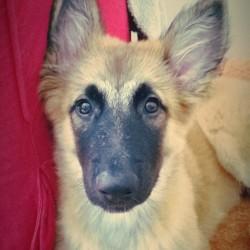 Bonnie, chien Berger blanc suisse