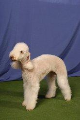 Bonny, chien Bedlington Terrier