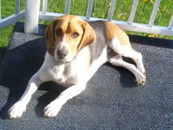 Bono, chien Beagle