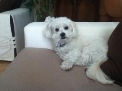 Bonty, chien Bichon à poil frisé