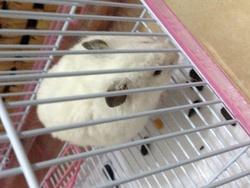 Boo Yong, rongeur Hamster