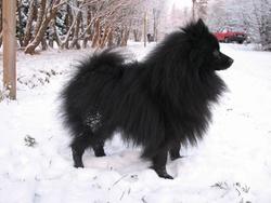 Booba, chien Spitz allemand