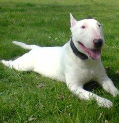 Booba, chien Bull Terrier
