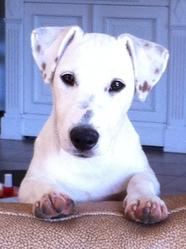 Booba, chien Jack Russell Terrier