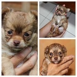 Booba, chien Chihuahua