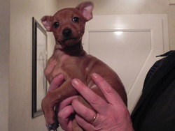 Booba, chien Pinscher