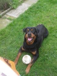 Booba, chien Rottweiler
