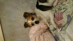 Booba , chien Chihuahua