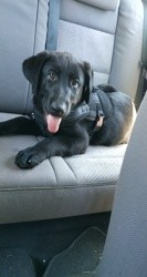 Booba, chiot Labrador Retriever