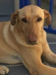 Booboo', chien Golden Retriever