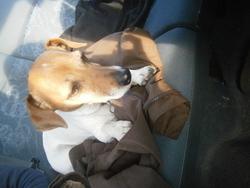 Boogie, chien Jack Russell Terrier