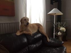 Boogie, chien Labrador Retriever