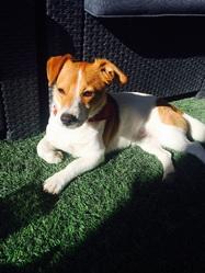 Boogy, chien Jack Russell Terrier