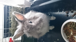 Booh, rongeur Lapin
