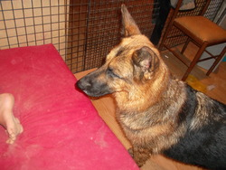 Boombo, chien Berger allemand