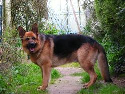 Boomer, chien Berger allemand