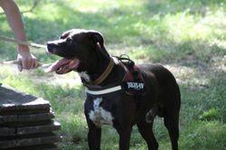 Boomer, chien Border Collie