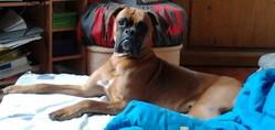 Boomer, chien Boxer