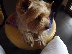Boonty, chien Yorkshire Terrier