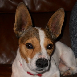 Boonty, chien Jack Russell Terrier