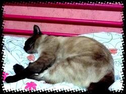 Booshy, chat Siamois