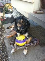 Booster, chien Berger allemand