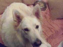 Bora, chien Berger blanc suisse