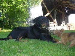 Borale , chien Beauceron
