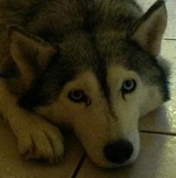 Boréale, chien Husky sibérien