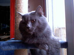 Borgo, chat Chartreux
