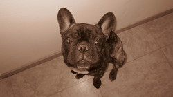 Boris, chien Bouledogue français