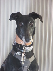Boris, chien Greyhound