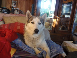 Borky, chien Husky sibérien