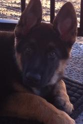 Bosco, chien Berger allemand