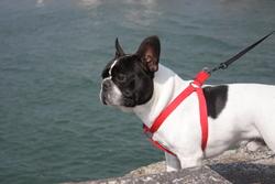 Bosco Au Paradis Des Bouledogues, chien Bouledogue français
