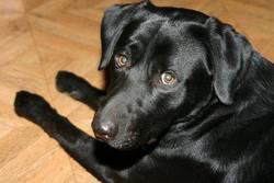 Bosko, chien Labrador Retriever