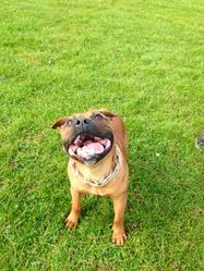 Boss, chien Staffordshire Bull Terrier