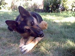 Bossko, chien Berger allemand