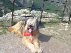 Bossy, chien Berger de Brie