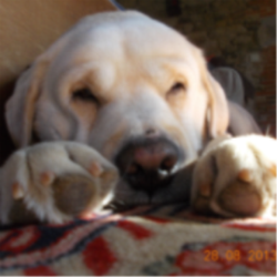 Boston, chien Labrador Retriever