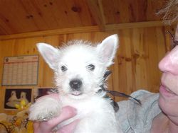 Boston Des Petits Ecossais, chien West Highland White Terrier