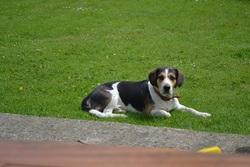 Boston, chien Beagle