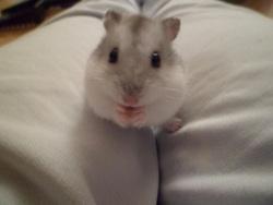 Bouana, rongeur Hamster
