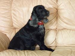 Bouba, chien Cocker anglais