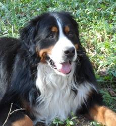 Bouba, chien Bouvier bernois