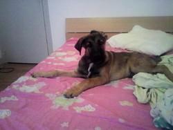 Bouba, chien Berger du Caucase