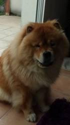 Bouba, chien Chow-Chow