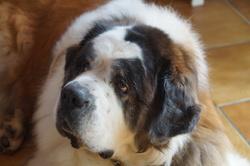 Bouba, chien Saint-Bernard