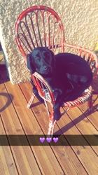 Bouba, chien Labrador Retriever